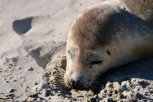 Harbor Seal Pup Long Beach Essex County Gloucester copyright Kim Smith - 1 of 2
