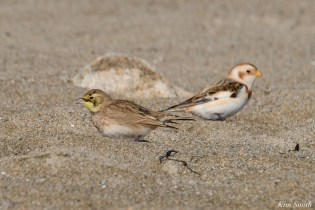 Horned Lark, Snow Bunting Essex County Massachusetts copyright Kim Smith - 9 of 21