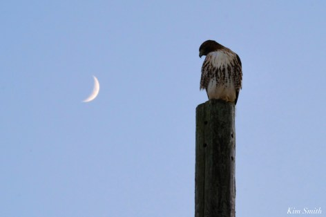 Red-tailed Hawk Crescent Moon copyright Kim Smith - 1 of 5