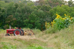 School Street Sunflowers Autumn Essex County copyright Kim Smith - 2 of 22
