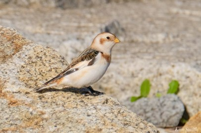Snow Bunting Essex County Massachusetts copyright Kim Smith - 6 of 21