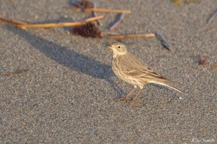 American Pipit After Storm Gloucester Essex County Massachusettts copyright Kim - 7 of 27