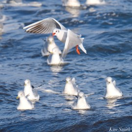 Black-headed Gull Gloucester Essex County Massachusetts copyright Kim Smith - 4 of 24
