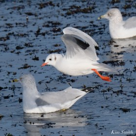 Black-headed Gull Gloucester Essex County Massachusetts copyright Kim Smith - 6 of 24