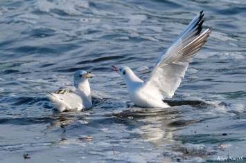 Black-headed Ring-billed Gull Battle Gloucester Essex County Massachusetts copyright Kim Smith - 15 of 24