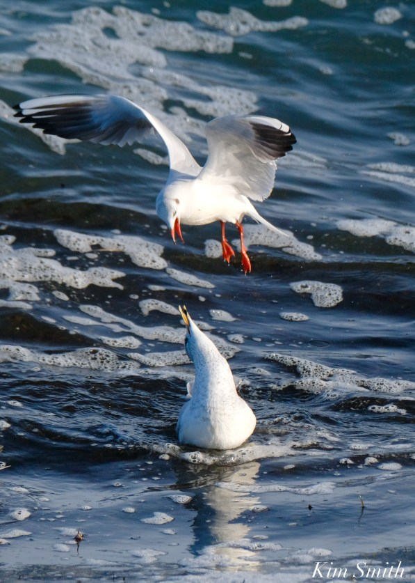 Black-headed Ring-billed Gull Battle Gloucester Essex County Massachusetts copyright Kim Smith - 18 of 24