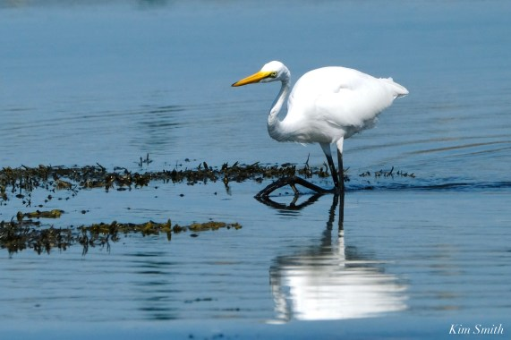 Great Egret Eastern Point Essex County -2 copyright Kim Smith