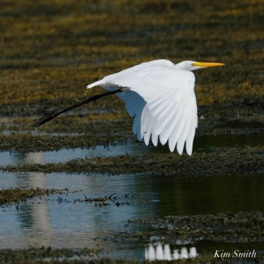 Great Egret Eastern Point Essex County -2 copyright Kim Smith.jpeg