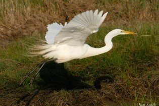Great Egret GHB Essex County -3 copyright Kim Smith