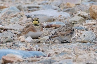 Horned Larks Male Female Eastern Point Essex Cpunty copyright Kim Smith - 6 of 9