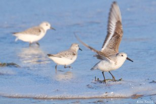 Sanderling Back Shore After Storm Gloucester Essex County Massachusettts copyright Kim - 8 of 27