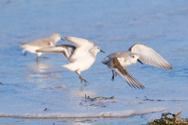 Sanderlings Back Shore After Storm Gloucester Essex County Massachusettts copyright Kim - 9 of 27