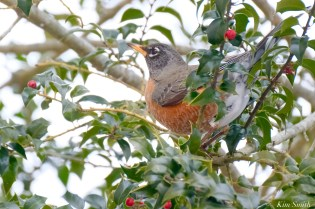American Robin Winter Robin copyright Kim Smith - 4 of 14