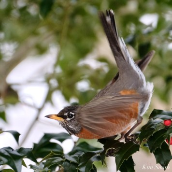 American Robin Winter Robin copyright Kim Smith - 9 of 14