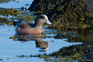 American Wigeon Essex County Massachusetts copyright Kim Smith - 1 of 16