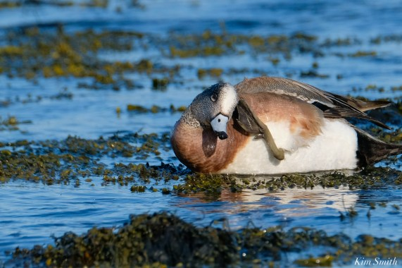American Wigeon Male Essex County Massachusetts copyright Kim Smith - 8 of 16