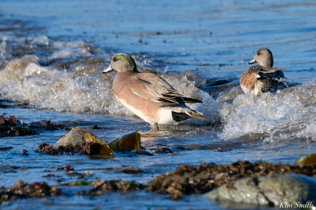 American Wigeon Male Female Essex County Massachusetts copyright Kim Smith - 12 of 16