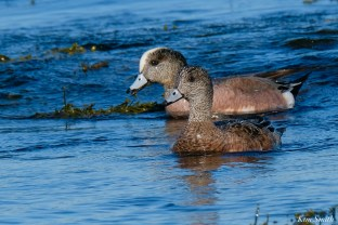 American Wigeon female male Essex County Massachusetts copyright Kim Smith - 7 of 16