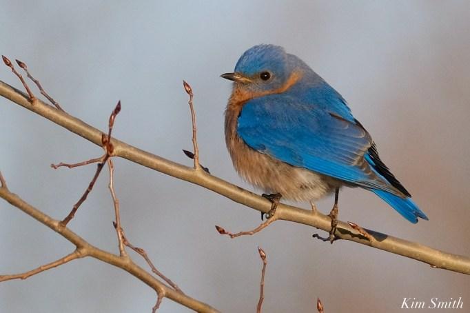 Bluebird Lovebirds Male Female Essex County copyright Kim Smith - 1 of 31