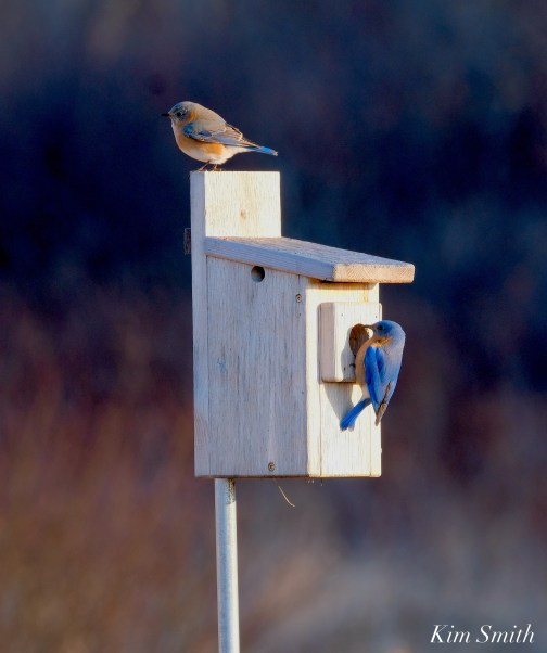 Bluebird Lovebirds Male Female Essex County copyright Kim Smith - 16 of 31