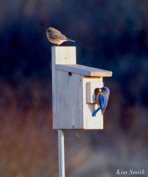 Bluebird Lovebirds Male Female Essex County copyright Kim Smith - 16 of 31