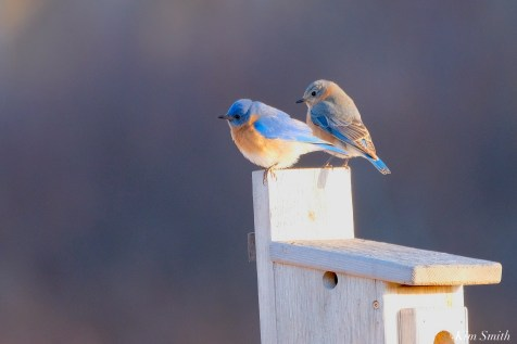 Bluebird Lovebirds Male Female Essex County copyright Kim Smith - 18 of 31