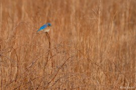 Bluebird Lovebirds Male Female Essex County copyright Kim Smith - 2 of 31