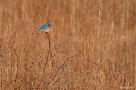 Bluebird Lovebirds Male Female Essex County copyright Kim Smith - 2 of 31