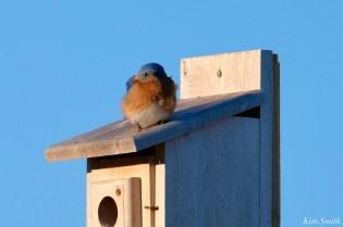 Bluebird Lovebirds Male Female Essex County copyright Kim Smith - 21 of 31