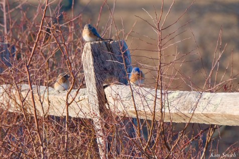 Bluebird Lovebirds Male Female Essex County copyright Kim Smith - 27 of 31