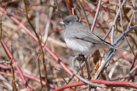 Dark-eyed Junco copyright Kim Smith - 12 of 15