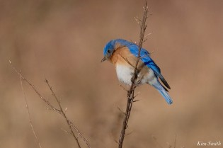 Eastern Bluebird Cape Ann Essex County copyright Kim Smith - 4 of 12
