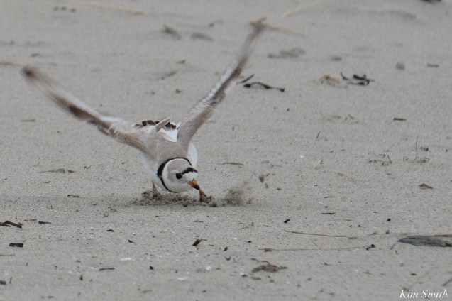 Piping Plovers Good Harbor Beach Essex County March 26, 2021 copyright Kim Smith - 1 of 9