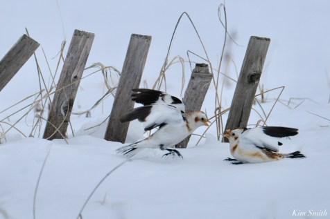 Snow Bunting Snowflakes Massachusetts copyright Kim Smith - 12 of 55
