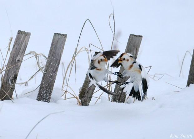 Snow Bunting Snowflakes Massachusetts copyright Kim Smith - 13 of 55
