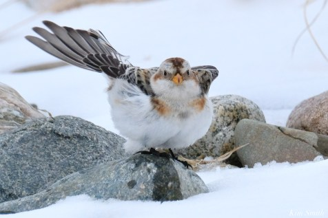 Snow Bunting Snowflakes Massachusetts copyright Kim Smith - 39 of 55