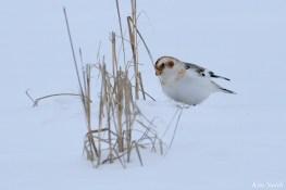 Snow Bunting Snowflakes Massachusetts copyright Kim Smith - 4 of 55