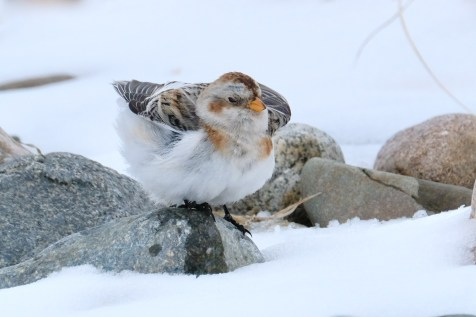 Snow Bunting Snowflakes Massachusetts copyright Kim Smith - 44 of 55