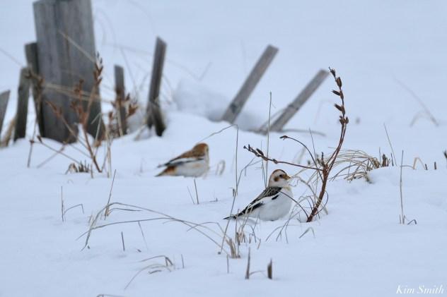 Snow Bunting Snowflakes Massachusetts copyright Kim Smith - 8 of 55