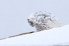 Snowy Owl Essex County copyright Kim Smith - 12 of 14