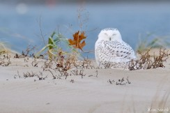 Snowy Owl Essex County copyright Kim Smith - 3 of 14
