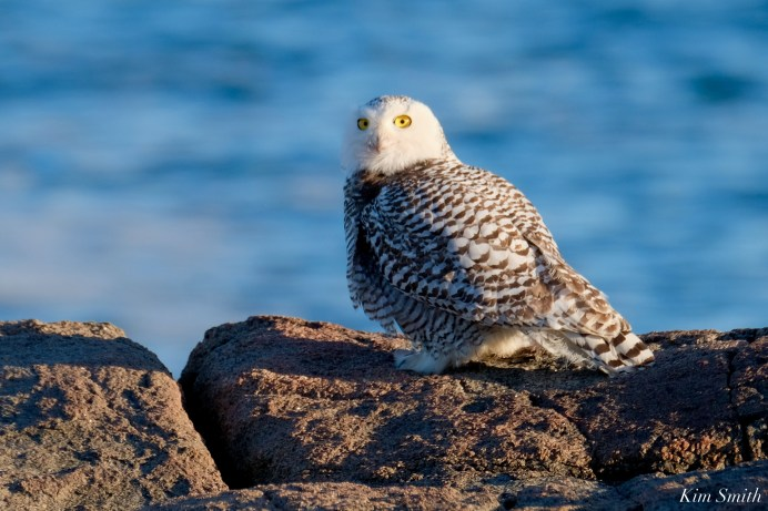 Snowy Owl Essex County copyright Kim Smith - 5 of 14