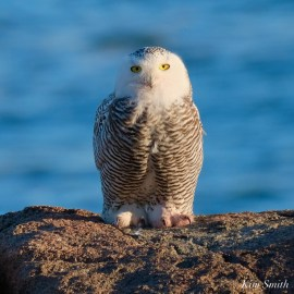 Snowy Owl Essex County copyright Kim Smith - 9 of 14