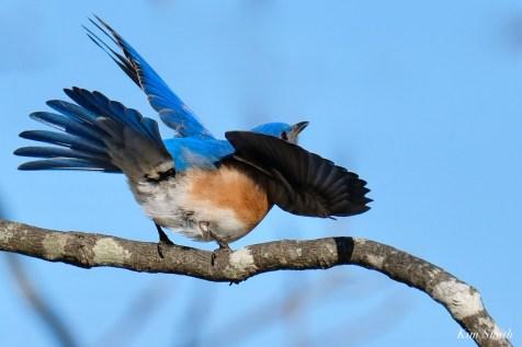 Bluebird Wing-wave Essex County copyright Kim Smith - 1 of 6