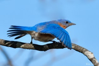 Bluebird Wing-wave Essex County copyright Kim Smith - 2 of 6