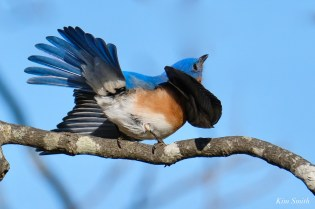 Bluebird Wing-wave Essex County copyright Kim Smith - 3 of 6