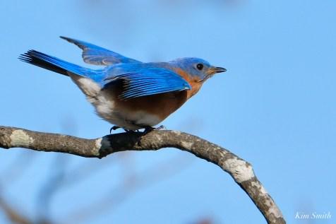 Bluebird Wing-wave Essex County copyright Kim Smith - 4 of 6
