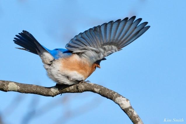 Bluebird Wing-wave Essex County copyright Kim Smith - 5 of 6