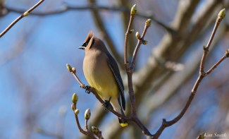 Cedar Waxwing Courtship New England Essex County copyright Kim Smith - 12 of 15