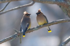Cedar Waxwing Courtship New England Essex County copyright Kim Smith - 8 of 15